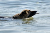 Dog swimming in water with stick in its mouth