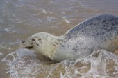 A grey seal frollicking in the water on the beach