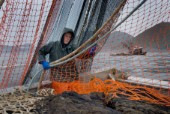 08/15/08  Crew member Nick Demmert hauls in the net while sein fishing on Captain Larry Demmerts boat just off of the outer islands west of Prince of Whales Island in SE Alaska. This is a native fishing hole. At this time they were catching mostly humpies.