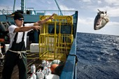 Expedition Great White crew member throws rotten tuna head overboard in the Pacific Ocean.