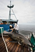 Expedition Great White crew install a satellite transmitter to a white shark dorsal fin.